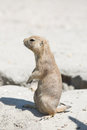 The black-tailed prairie dog Cynomys ludovicianus standing on Royalty Free Stock Photo