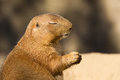 Black tailed prairie dog with eyes closed a cynomys ludovicianus sitting his Royalty Free Stock Images