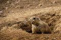 Black tailed prairie dog a with a mouth full of nesting material Stock Images