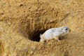 Black tailed prairie dog peeking from a burrow Stock Images