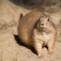 Black tailed prairie dog sitting in the sand a cynomys ludovicianus Stock Image