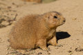 Black tailed prairie dog sitting in the sand a cynomys ludovicianus Royalty Free Stock Photography