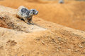Black tailed prairie dog is a small rodent Stock Photo