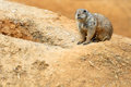 Black tailed prairie dog is a small rodent Royalty Free Stock Image