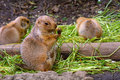 Black-tailed prairie dogs Royalty Free Stock Photo