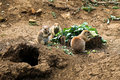 Black Tailed Prairie Dogs Eating Broccoli Royalty Free Stock Photo