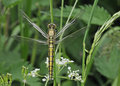 Black-tailed Skimmer Dragon- Orthetrum cancellatum Royalty Free Stock Photos