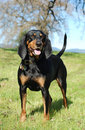 Black and Tan Coonhound Stock Image