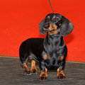 Black and tan dachshund standing for a pose Stock Photography