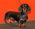Black and tan dachshund standing for a pose Stock Photo
