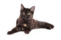 Black and tan domestic longhair kitten laying stunning four month old outstretched with paws in front of body Royalty Free Stock Image
