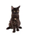 Black and tan domestic longhair kitten sitting an adorable four month old Stock Photography