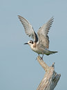 Black tern fledgling lifts wings perched on snag Royalty Free Stock Photo