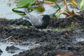 Black Tern Royalty Free Stock Photo