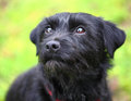 Black terrier dog Royalty Free Stock Images