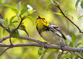 Black-throated Warbler, Magee Marsh, Ohio, spring migration Stock Image