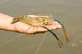 Black tiger prawn on a hand Stock Photo