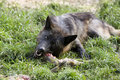 Black Timber wolf eating Stock Images