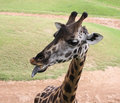 Black tongue of giraffe in the zoo Stock Photography