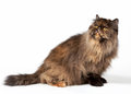 Black tortoise persian female cat Royalty Free Stock Photos
