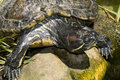 Black tortoise on a rock on the edge of the water Royalty Free Stock Photo