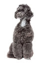 Black toy poodle Royalty Free Stock Images