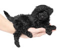 Black toy poodle puppy on hand. Royalty Free Stock Image
