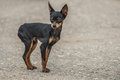 Black toy terrier on gray background Royalty Free Stock Images