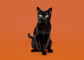 Black traditional bombay cat Stock Photography
