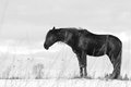 Black trakehner stallion sleeping Royalty Free Stock Image