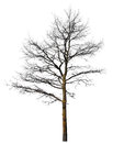 Black tree without leaves isolated on white Stock Photography