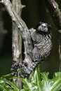 Black tufted ear marmoset callithrix penicillata in brazil Royalty Free Stock Images