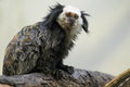 Black-tufted marmoset Royalty Free Stock Photo
