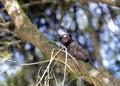 Black-tufted marmoset, endemic primate of Brazil