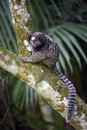Black-tufted marmoset, endemic primate of Brazil Royalty Free Stock Photo