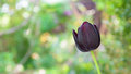 Black tulip flower closeup Royalty Free Stock Photo