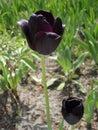 Black tulip flower 'Queen Of Night'