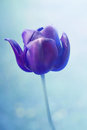 Black tulip Royalty Free Stock Photo
