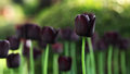 Black tulip Royalty Free Stock Photo