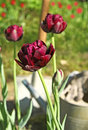 Black tulips are in the drops of dew Royalty Free Stock Photos