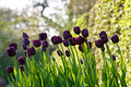 Black tulips in a garden Royalty Free Stock Images