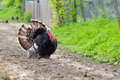 Black turkey wild bird on the village road showing plumage Royalty Free Stock Photo