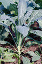 Black tuscan kale plant italian variety Stock Images