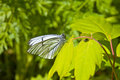 Black-veined white Stock Image