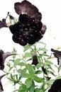 Black Velvet Petunia Royalty Free Stock Photo