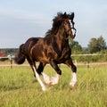 Black vladimir draft horse runs gallop on the pasture Royalty Free Stock Images