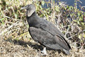 Black Vulture (Coragyps atratus) Royalty Free Stock Image