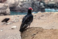 Black vulture coragyps atratus peru on the cliffs of the pacific coast Stock Photography