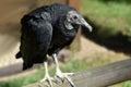 Black vulture, coragyps atratus Royalty Free Stock Photo