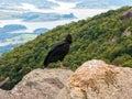 Black Vulture Coragyps atratus on rock Royalty Free Stock Photo